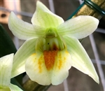 Dendrobium Chanicha Queen Star (Frosty Dawn x cruentum)