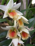 Dendrobium Frosty Dawn