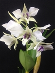 Dendrobium Royal Wings
