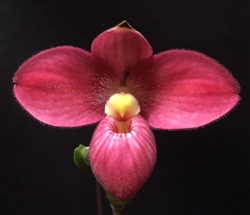 Phragmipedium Barbara LeAnn