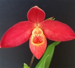 Phragmipedium Cahaba Glow