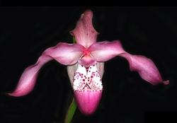 Phragmipedium Incan Treasure (kovachii x longifolium)