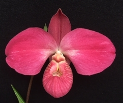 Phragmipedium Karen Sue (Red Rocket 4N x kovachii)
