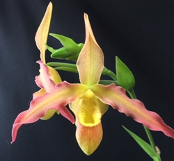 Phragmipedium Lutz Röllke