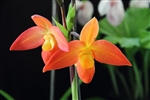 Phragmipedium Ouaisne (d'alessandroi x Eric Young 'Glowing Embers')
