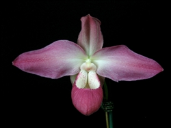 Phragmipedium Peruflora's Spirit (kovachii x Eric Young) species