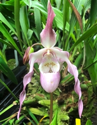 Phragmipedium QF Leina'ala (Conchiferum 'Kay' x Incan Treasure)