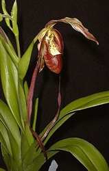 Phragmipedium Red Lightning