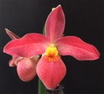 Phragmipedium Seymour Tower