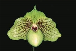 Paphiopedilum Mint Chocolate