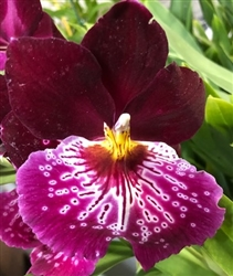 Miltoniopsis Night Spots 'Red Eyes' #2