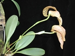 Bulbophyllum burfordiense