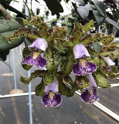 Rare Catteya schilleriana var Coerulea orchid