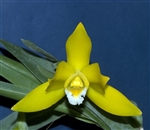 Encyclia citrina species