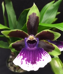 Zygopetalum Rhein Clown x (Blptm. Midnight Blue x Z. Jumpin Jack), (clone)