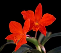 Cattleya Red Doll (coccinea x Psyche 'Red Jewel')