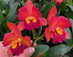 Blc. Waianae Leopard x Ctna. Why Not