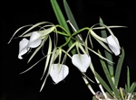 Brassavola nodosa (4N) x 'Mas Major' (2N)