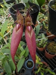 Bulbophyllum fascinator