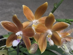 Phalaenopsis tetraspis f. coffee (MC)