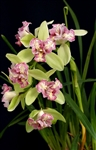 Cymbidium Green Valley Emerald, peloric form