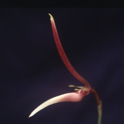Bulbophyllum dennisii species