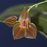 Lepanthes adrianae