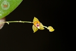 Lepanthes rhynchion