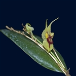 Lepanthes caloura