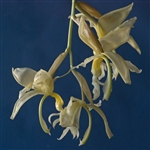 Stanhopea panamensis species