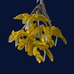 Stanhopea stevensonii species