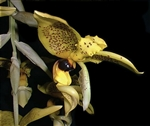 Stanhopea wardii species