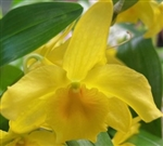 Dendrobium Yellow Song Canary x unicum