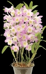 Dendrobium Joyful Day 'Joyful Day'