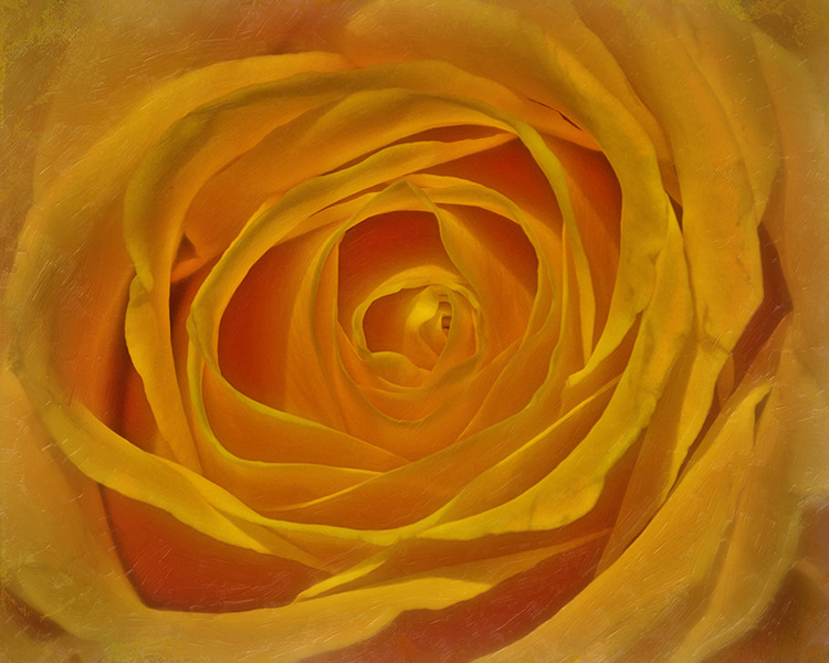 Soul of a Yellow Rose by Hal Halli