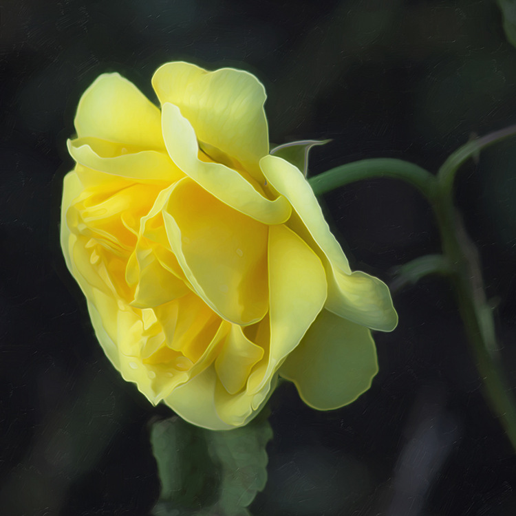 Yellow Rose by Hal Halli