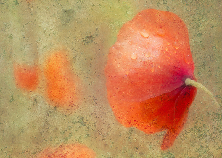 Pale Red Poppy by Hal Halli