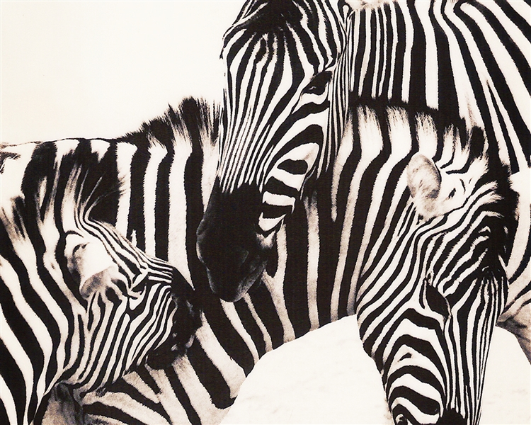 Zebras giclee canvas by Don Schimmel