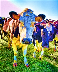 The 60's Cow giclee canvas by Don Schimmel