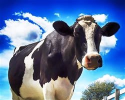 Cow - Close and Personal giclee canvas by Don Schimmel