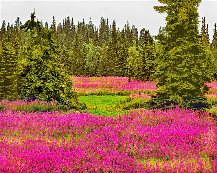 Fireweed Landscape giclee canvas by Don Schimmel