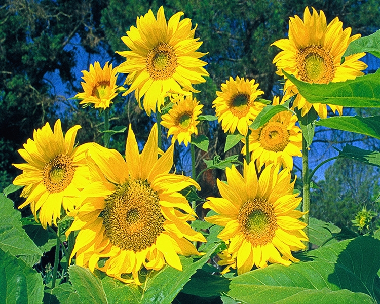 Sunflowers Landscape giclee canvas by Don Schimmel