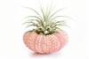 Pink Sea Urchin Air Plant Kit