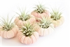 Pink Sea Urchin Air Plant Kit - 6 Pack