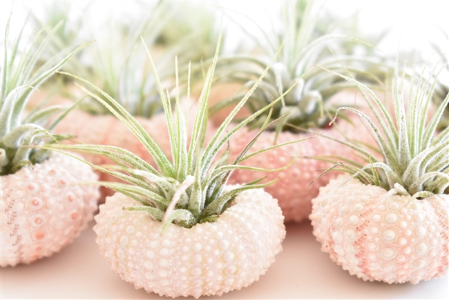 Three Pack Pinklight pink Sea urchin ornaments with air planttillandsia mexicanaredpink and purple bloom Sea urchin in shell