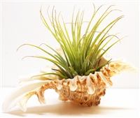 Tillandsia Kit White Murex