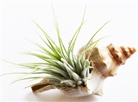 Tillandsia Kit Fox Conch