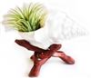 White Indian Chank Air Plant Kit with Stand