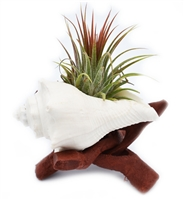 White Vole Air Plant Kit