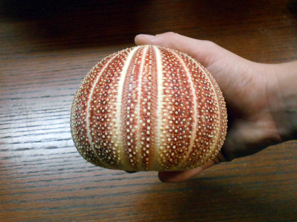 sea urchin decor.htm giant red english channel sea urchin shell  giant red english channel sea urchin shell